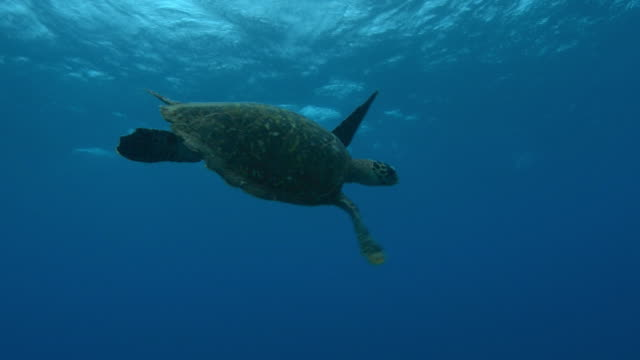 Underwater PAN with Hawkbill Turtle swimming in open water