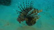 Underwater MS PAN with Lionfish floating over seabed