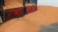 Entladen corn Samen der Landwirte.