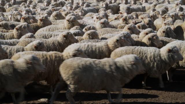 WS Unshorn Merino sheep on Central Otago farm / Omarama, Canterbury, New Zealand