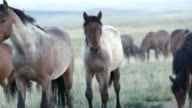 Up close view of wild horses grazing