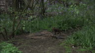 Urban red fox (Vulpes vulpes) cub in garden, Glasgow, Scotland