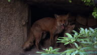 Urban red fox (Vulpes vulpes) delivers food to cubs in garden den, Glasgow, Scotland