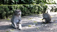 Urban Young Wild Macaque Monkeys (Macaca fascicularis) in City