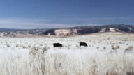 Utah landscape with cows