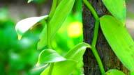 Vanilla plant detail - Reunion Island