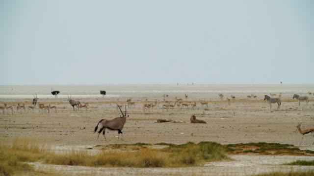 WS Various animals in savannah / Namibia