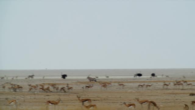 WS PAN Various animals in savannah /Namibia