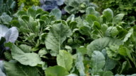 Various cabbages and kidney bean seedbed in the garden VIDEO