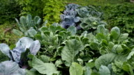 Various cabbages and kidney bean seedbeds in the garden VIDEO