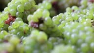 Various close shots green grapes before being loaded onto a crusherdestemmer machine at Sula Vineyards' production facility operated by Nashik...