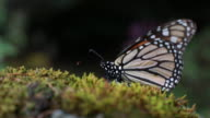 Various close up shots of monarch butterflies resting on Oyamel trees moss covered logs and clustered together from tree branches in Michoacan Mexico...