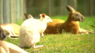 various shots Kangaroos lie and stand on grass with bushland in background small albino wallaby big red kangaroos big red rubs face with paw