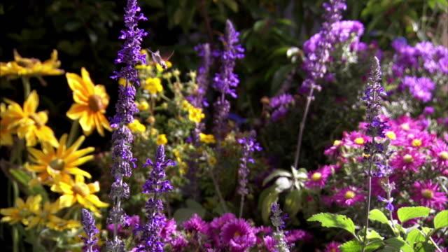 Various shots of a Hummingbird Hawk Moth feeding off purple flowers in a colourful flower garden