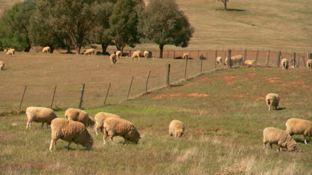 Various shots of Merino sheep grazing in fenced paddocks surrounded by rolling hills and clusters of trees blue sky and soft white clouds