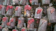 Various shots of vertically growing pink oyster mushrooms growing from plastic bags on wire rack mushroom farm