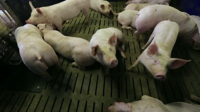 Various shots pigs stand in pens at a Interessengemeinschaft der Schweinehalter Deutschlands consortium pig farm in Lohne Germany on Tuesday May 27...