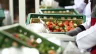 Various shots workers pack freshly picked strawberries into plastic cartons and place them on a conveyor at a packaging warehouse operated by the...