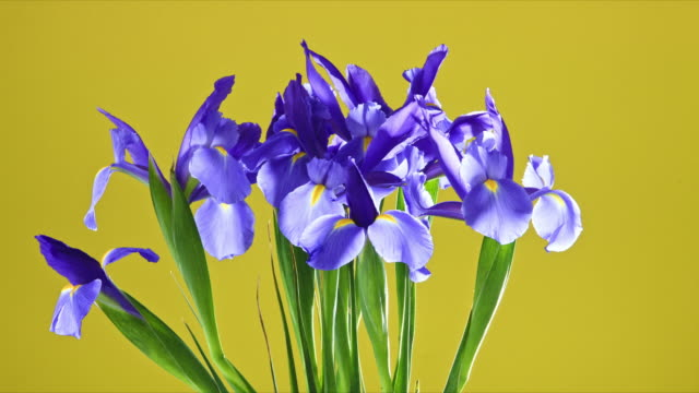 A vase of Iris flowers slowly rotating as they blossom and open into a vibrant array.