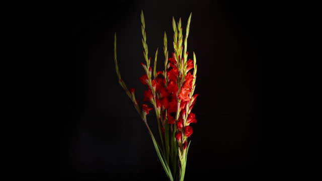 A vase of Red Gladiola slowly rotate as they bloom.