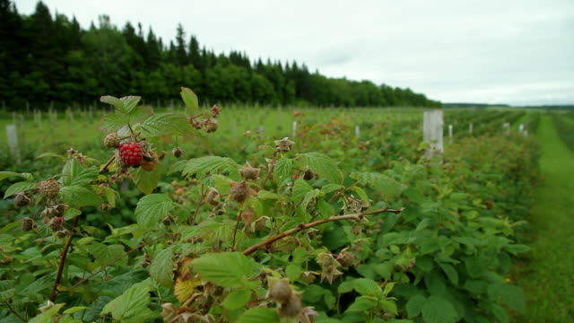 A vast expanse of field raspberries numbered