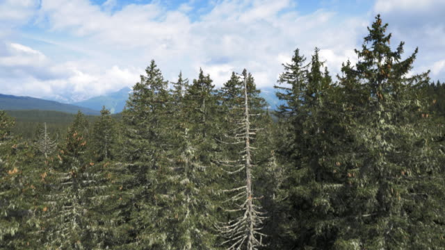AERIAL Vastness of a coniferous forest