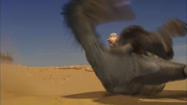 CGI, CU, Velociraptors falling on ground