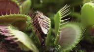 SLOW MOTION: Venus flytrap