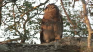 Verreaux's Eagle Owl looks around in tree.
