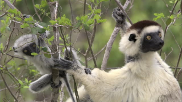 Verreaux's sifaka (Propithecus verreauxi) and cute baby in tree, Madagascar