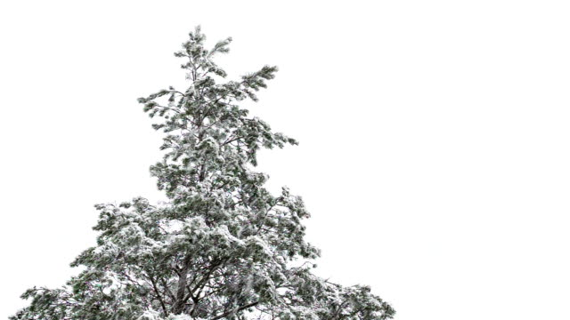 Vertex of pine tree during a snowfall.