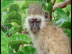 Vervet monkey in the rain, sticks out tongue and shakes itself