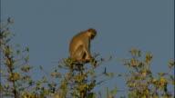 Vervet monkey sits high in trees, Victoria Falls, Zimbabwe