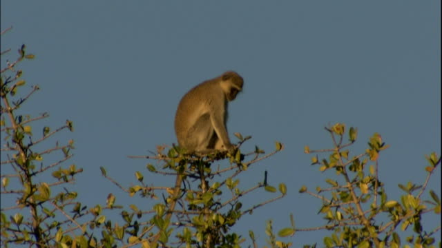 Vervet monkey sits high in trees, Victoria Falls, Zimbabwe