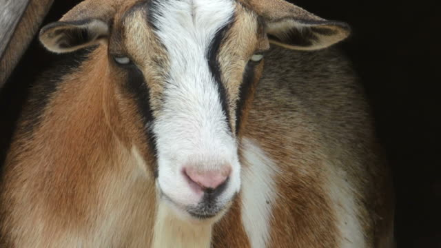 Very Intimate Portrait of a Brown and White Goat With Gold Eyes