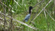 A Very Upset Little Heron Climbing a Reed to Get Away From a Turtle