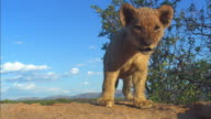 Very young African lion cub looks out from top of rocky outcrop