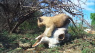 MS very young African lion cub sitting on giraffe skull then walks to camera