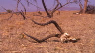 2 very young African lion cubs trotting through dead trees with gazelle skull in foreground