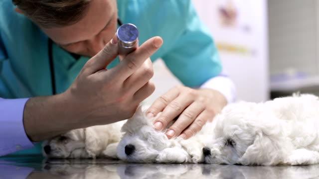 Veterinären undersöker bichon öron