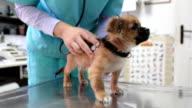 Veterinarian listening to puppy's heartbeats