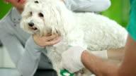 Veterinary Surgeon Treating Dogs Leg