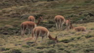MS Vicuna herd with two cria grazing in hilly field / Eduardo Avaroa Faunistic Reserve, Potosi, Bolivia