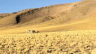 Vicunas feeding in the Andes near San Pedro de Atacama