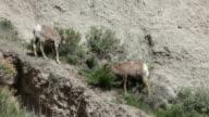 HD video Bighorn pair Badlands National Park South Dakota