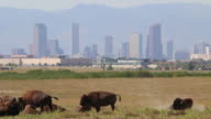 HD video Bison and downtown Denver skyscrapers