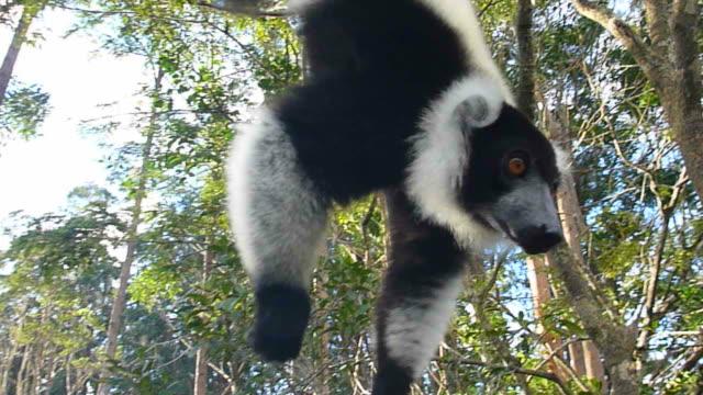 HD video black and white ruffed lemur dangles upside-down Madagascar