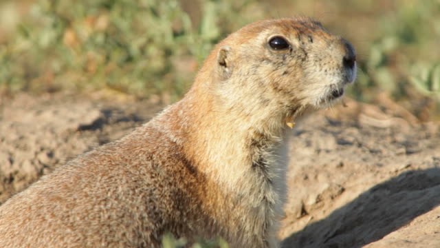 HD video Black-tailed prairie dog vocalizing
