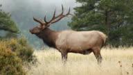 HD Video bull elk bugling Colorado