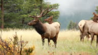 HD Video bull elk Colorado mountains